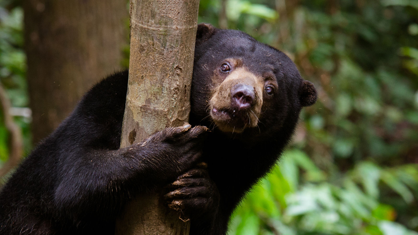 Borneon Sun Bear Conservation Centre (BSBCC)